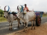 village-ox-cart